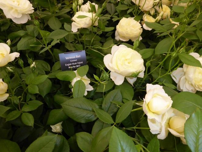 Rosa 'Vanessa Bell'