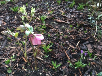 Hellebores and crocuses